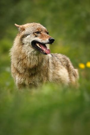 Фото Волк в баварском лесу в Germany / Германии, фотограф Ales Gola / Алес Гола