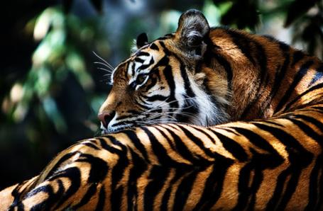 Фото Тигр лежит на фоне листвы