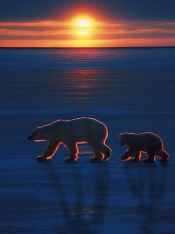 Фото Полярный медведь со своим детенышем на фоне заката