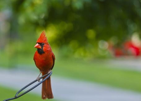 Фото Красный кардинал, или виргинский кардинал сидит на ветке, Клеммонс, Северная Каролина, США / Clemmons, North Carolina, USA, фотограф Bryan Pollard / Брайан Поллард