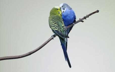 Фото Два волнистых попугайчика сидят на ветке