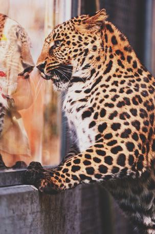 Фото Леопард прислонился к стеклу в зоопарке, за которым стоит девушка