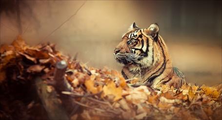 Фото Тигр лежит в осенних листьях
