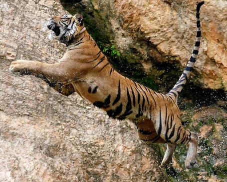 Фото Тигр прыгает в воду (© Seona), добавлено: 13.07.2013 19:03