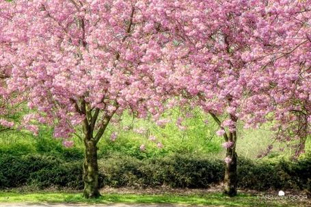 Фото Весенние цветущие деревья сакуры