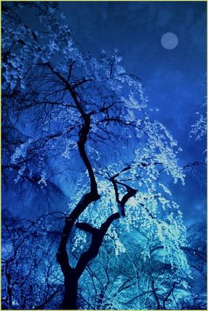 Фото Цветущая сакура белым цветом в ночное время суток