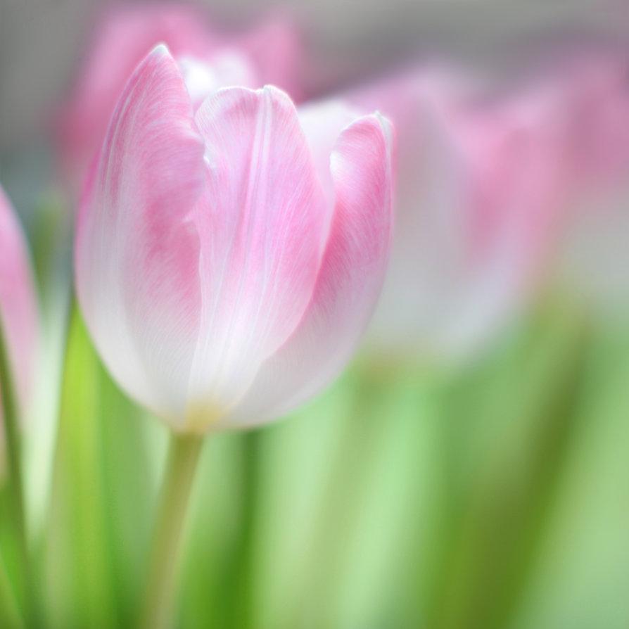сделать картинка нежно розовых тюльпанов начала порежьте