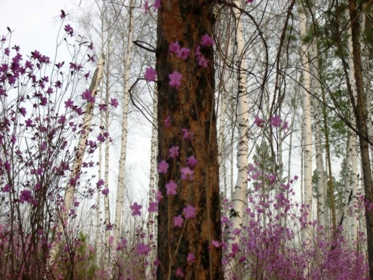 Фото калы клубневые цветы фото цветы