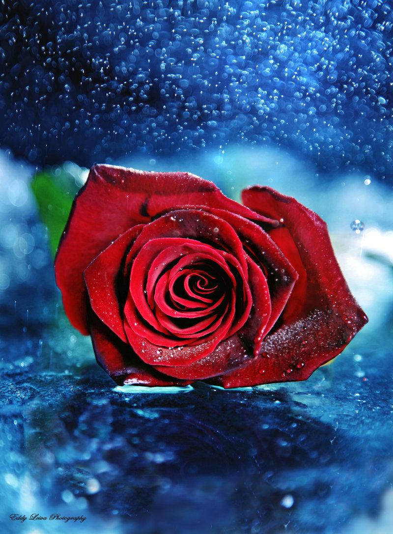 Картинки блестящие розы