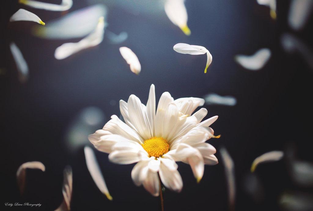 картинки лепестки ромашки летят микрофлора легкостью