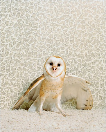 Фото Сипуха / сова открыла клюв на белом фоне