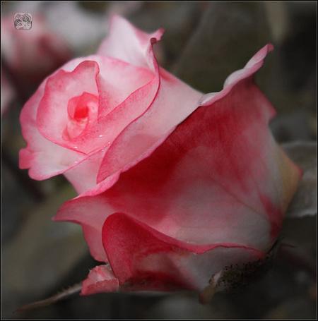Фото Нежная розово-белая роза, работа neshvacena (© zmeiy), добавлено: 07.08.2013 21:45