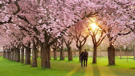 Фото Парень с девушкой обняв друг друга, прогуливаются по зеленому газону между цветущими весной деревьями сакуры на фоне яркого солнечного света