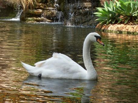 Фото Белый лебедь плавает в пруду