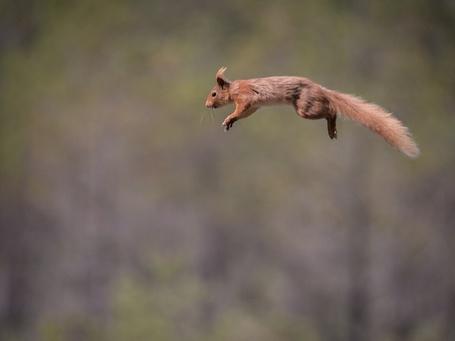 Фото Белка в прыжке