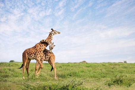 Фото Нежные объятия жирафов