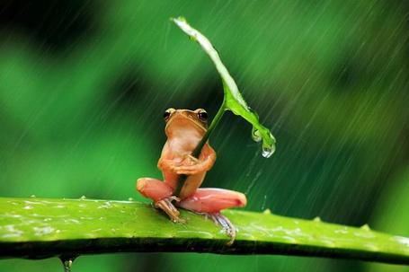 Фото Лягушка держит в лапках лист, которым закрывается от дождя