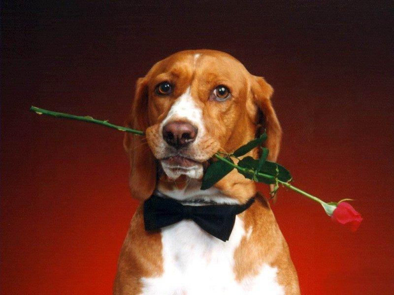 Фото Собака с бантом на шее держит в зубах розу