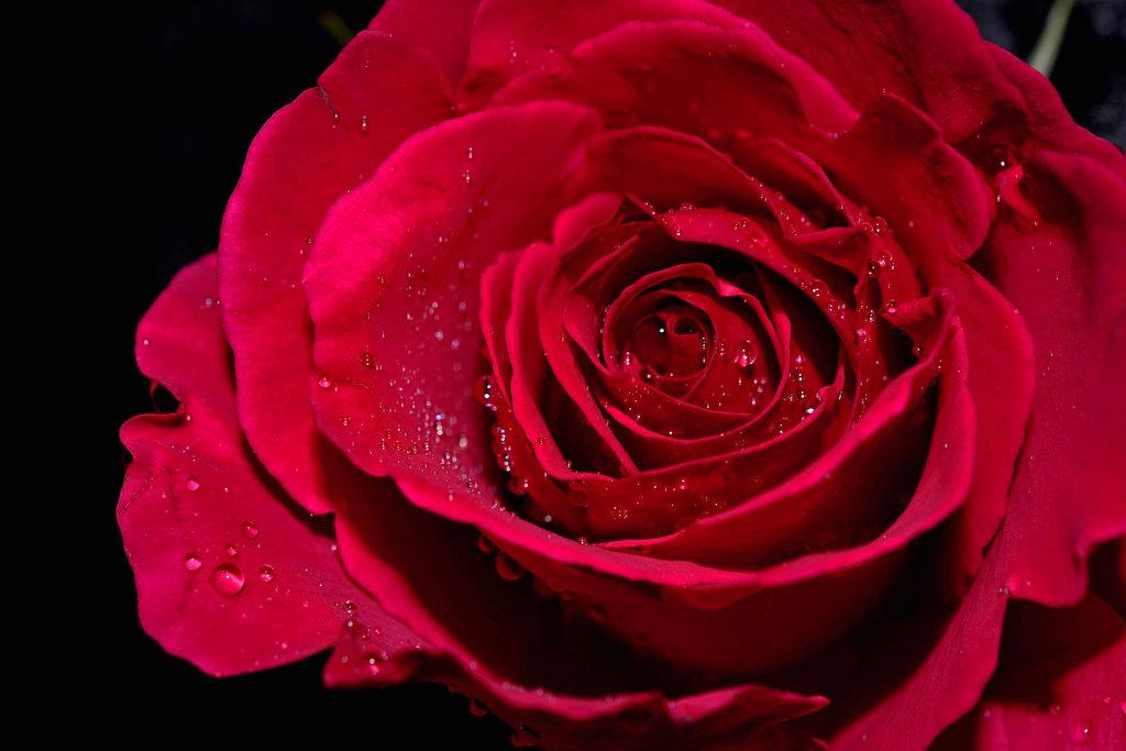 фотографии роз спрей