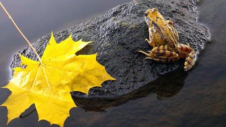 Фото Лягушка, сидящая на скользком камне, находящимся в воде, рядом лежит желтый осенний листок