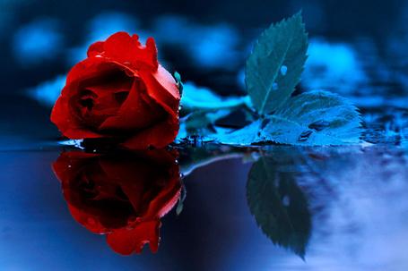 Фото Красная роза и ее отражение в воде, фотограф Барбара Флорчик (© zmeiy), добавлено: 09.09.2013 14:08