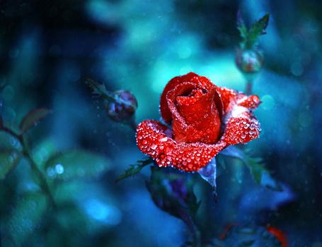Фото Красная роза в каплях росы, фотограф Барбара Флорчик