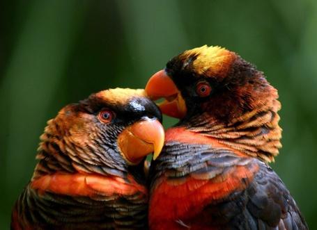Фото Попугай породы белоспинный лори клювом чистит перья другому попугаю