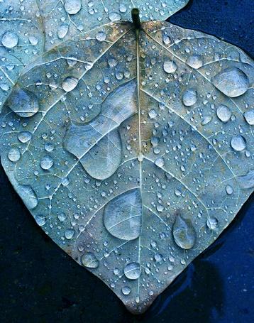 Фото Осенний лист в каплях воды (© zmeiy), добавлено: 14.09.2013 00:25