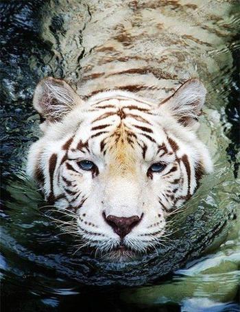 Фото Белый тигр плывет по воде (© Sveta_Sherer), добавлено: 11.09.2012 13:33