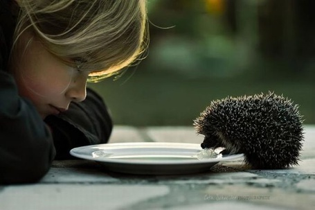 Фото Ребенок смотрит на ежика, берущего еду из тарелки