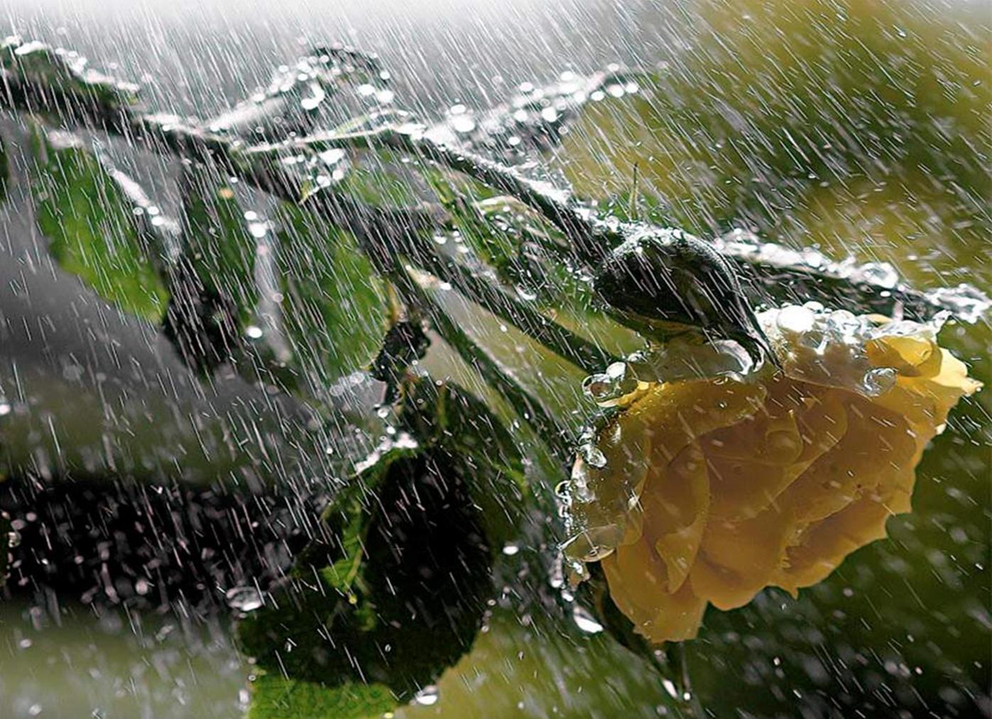 Смотреть фото золотого дождя 15 фотография
