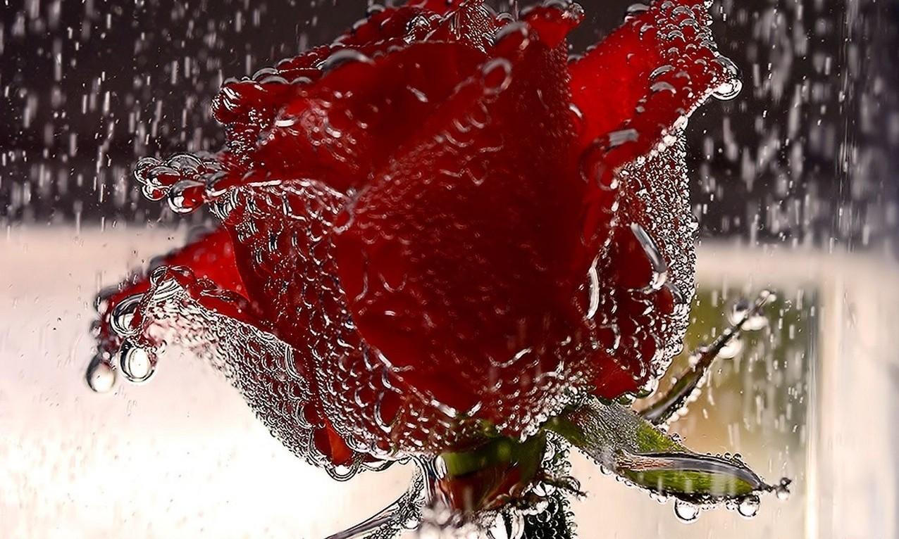Розы на воде картинки гифки под дождем, днем