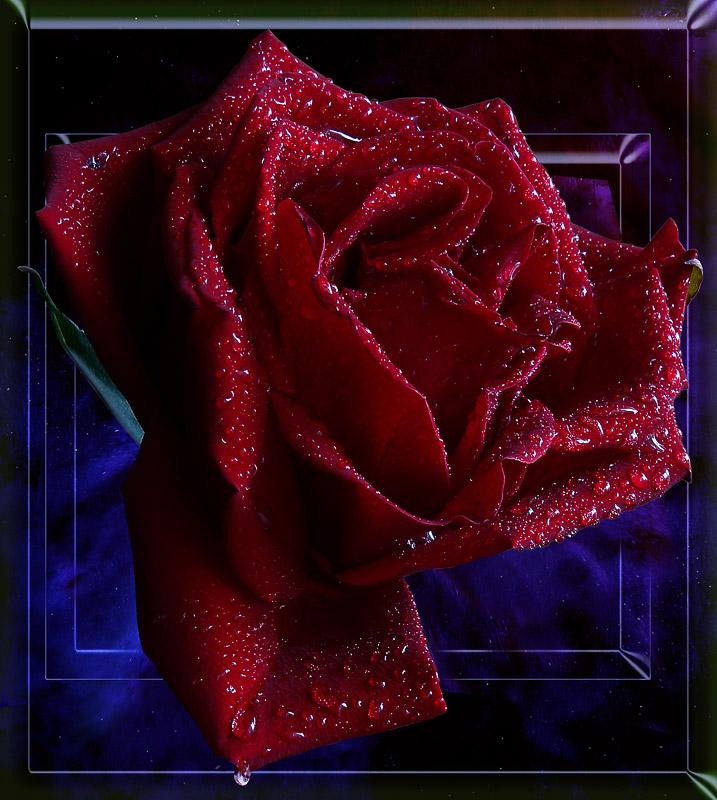 Анимированные картинки розы 320-240 в хорошем качестве, про