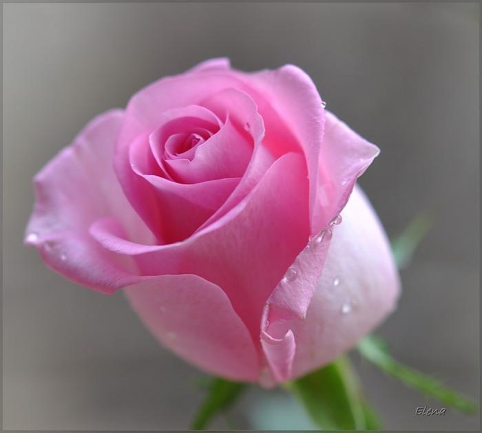 Фото Розовая роза с капельками росы