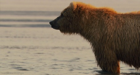 Фото Бурый медведь стоит в реке (© Seona), добавлено: 01.10.2013 16:09