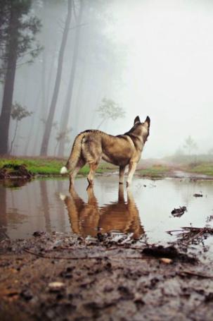 Фото Собака породы хаски стоит в луже, посреди леса
