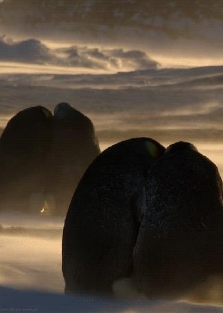 Фото Пингвины сидят прижавшись друг к другу, во время снежной бури