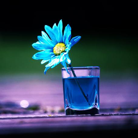 Фото В стакане с голубой жидкостью стоит голубая ромашка (© zmeiy), добавлено: 02.10.2013 19:38