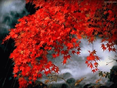 Фото Ветка красных листьев клена под дождем (© zmeiy), добавлено: 03.10.2013 11:24
