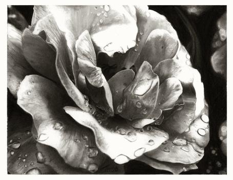Фото Роза в каплях воды