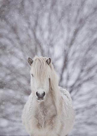 Фото Белый мустанг под снегопадом (© Seona), добавлено: 03.10.2013 20:27