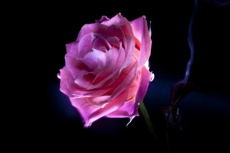 Фото Фиолетовая роза на темном фоне