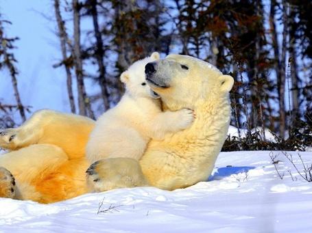 Фото Белый медвежонок обнимает медведицу, лежащую на снегу