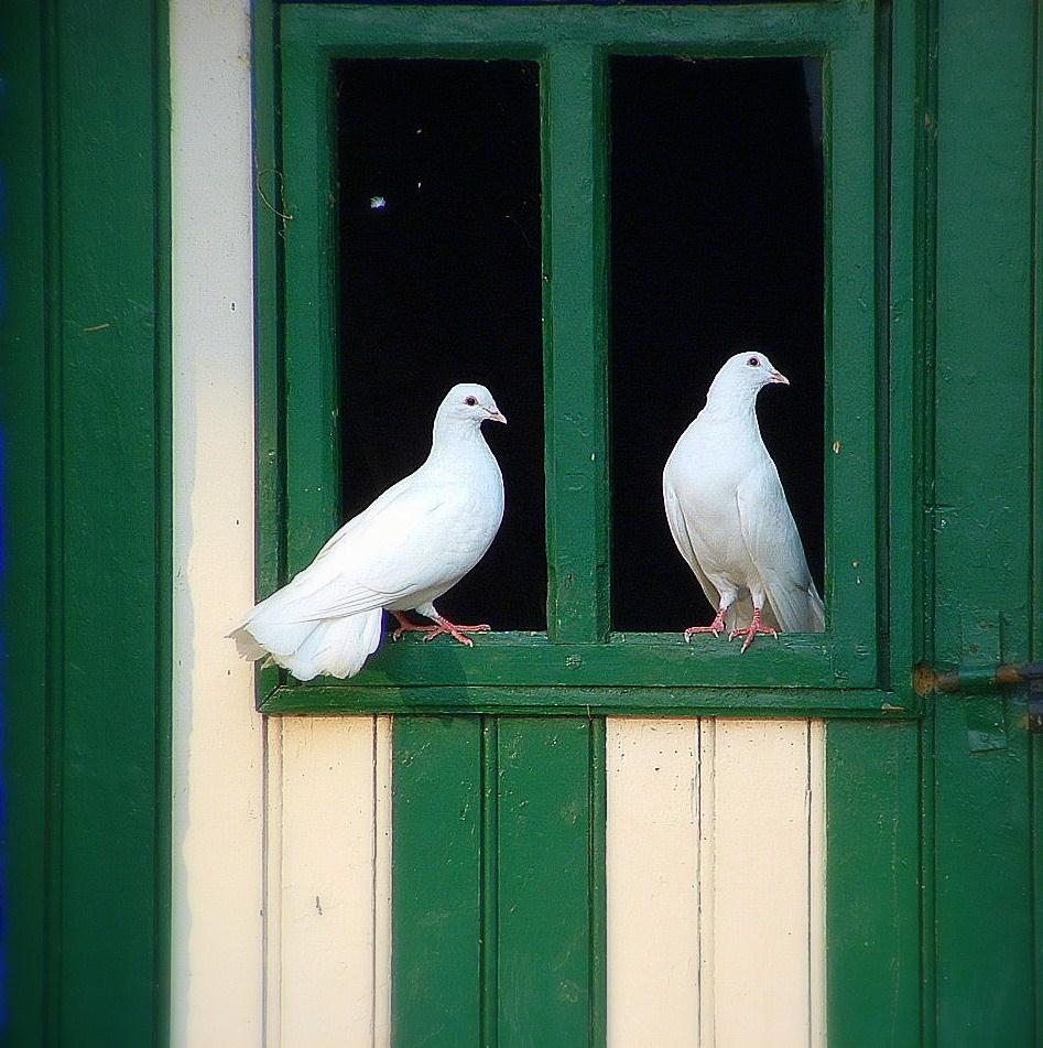 Фото два белых голубя на окне дома.