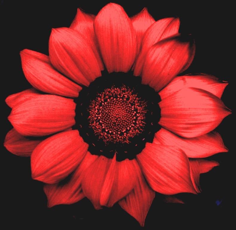 Красные цветы на чёрном фоне