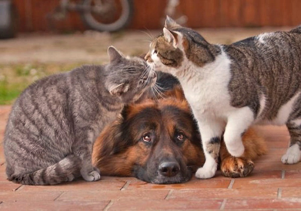 Фото Кот и кошка вылизывают друг друга над лежащей ...