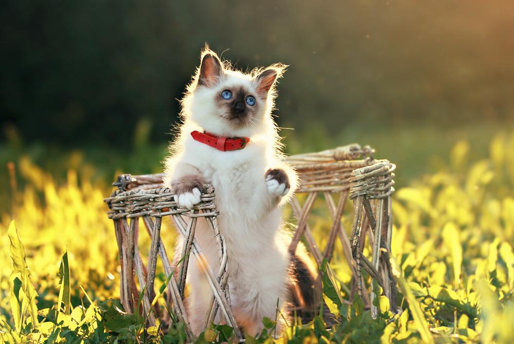 Фото Сиамский котенок сидит в плетеной коробке, фотограф ...
