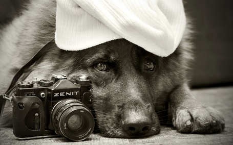 Фото Овчарка в вязаной шапочке с умным взглядом охраняет фотоаппарат Зенит-TTL / Zenit-TTL