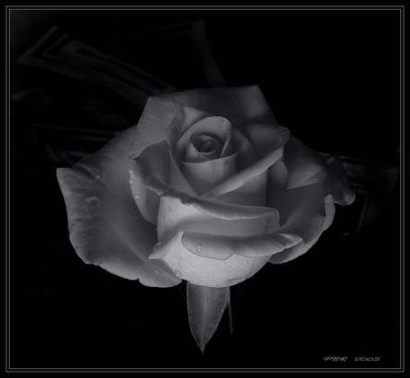 Фото Красивая роза с каплями воды на черном фонею