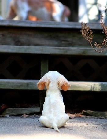 Фото Белый ушастый щенок породы бигль, сидит спиной перед ступеньками и смотрит вверх на свою маму (© retro), добавлено: 03.11.2013 13:01